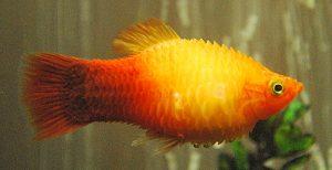 Hilfe – Mein Fisch hat einen dicken Bauch