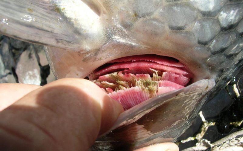 Kiemenwürmer